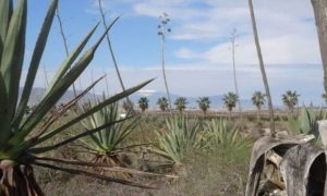 plantas agave / agave plant source materials
